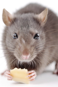 rat with cheese on a white background