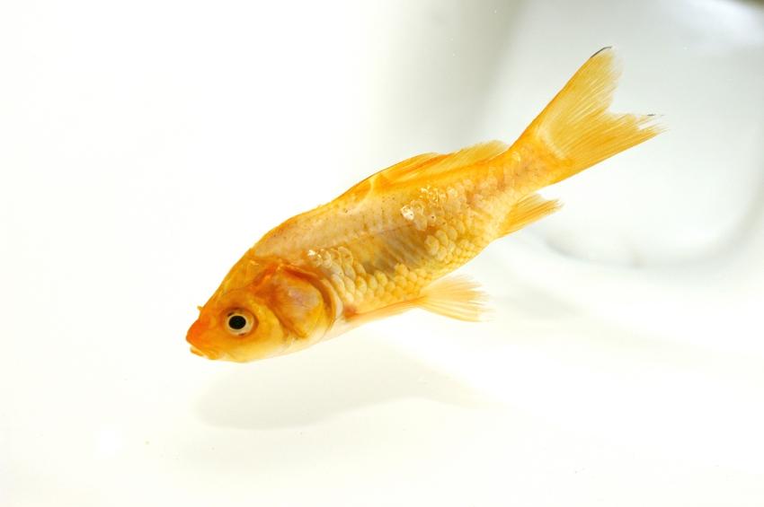 – goldfish in toilet iStock_000001465491_Small
